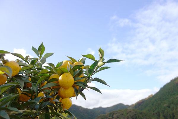 黄色く色づいた種無し柚子「多田錦」