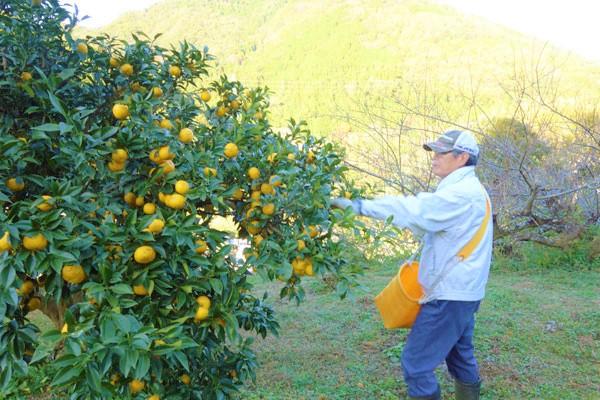 多田錦栽培の農作業風景