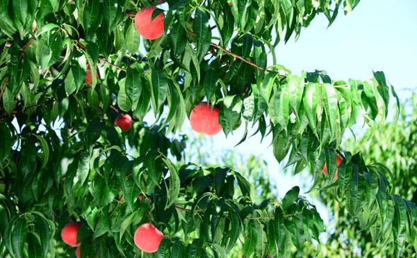 樹にたくさん実った桃