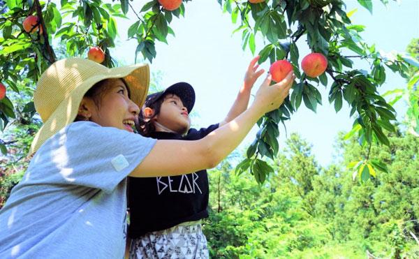 桃を収穫している風景