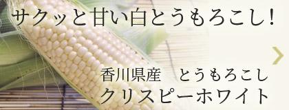 サクッと甘い白とうもろこし!香川県産とうもろこし クリスピーホワイト