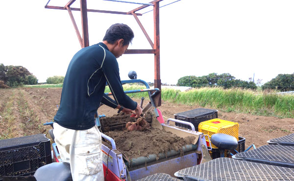 安納芋を収穫している作業写真