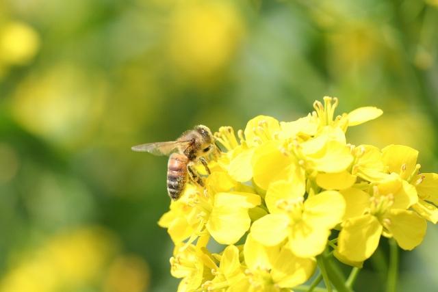 みつを集めるミツバチの写真