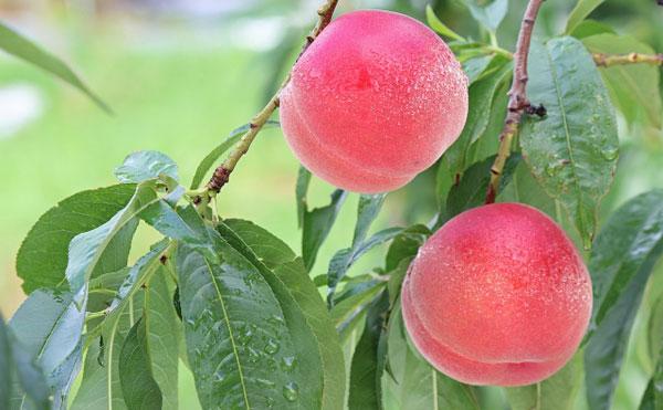 樹に実ったみずみずしく新鮮な桃