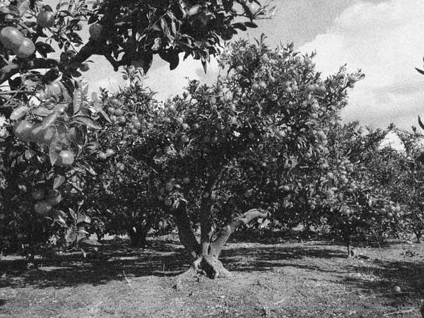 古くから、代々続くみかん畑の写真