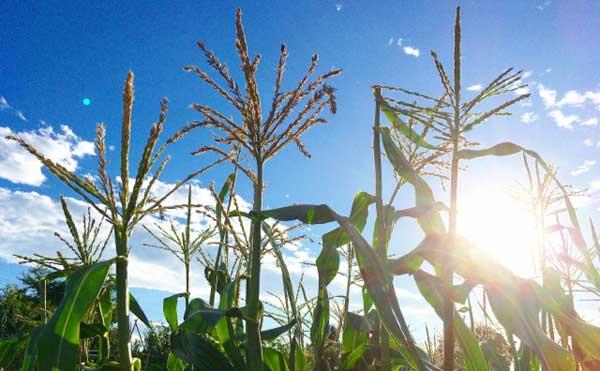 太陽が当る早朝のとうもろこし畑