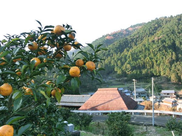 種無し柚子「多田錦」の柚子畑