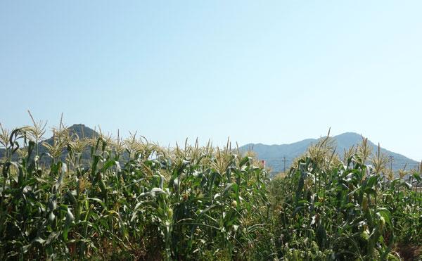 瀬戸内の太陽を浴びている髙木農園のとうもろこし畑