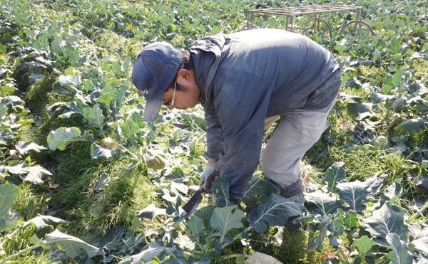 ブロッコリーの収穫作業をしている髙木農園園主髙木さん