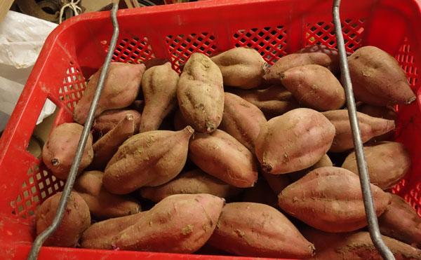 収穫後の減農薬栽培安納芋
