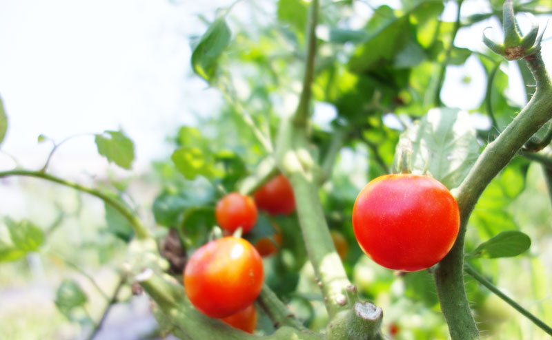 樹に実った美味しそうなトマト