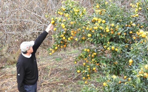 柚子農園の手入れをする中川農園さん