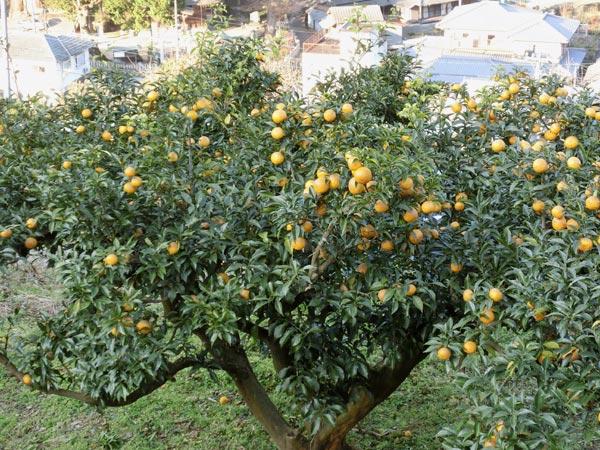 種無し柚子「多田錦」の原木