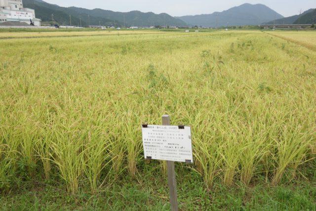 減農薬でお米を栽培している田中さんの田んぼ