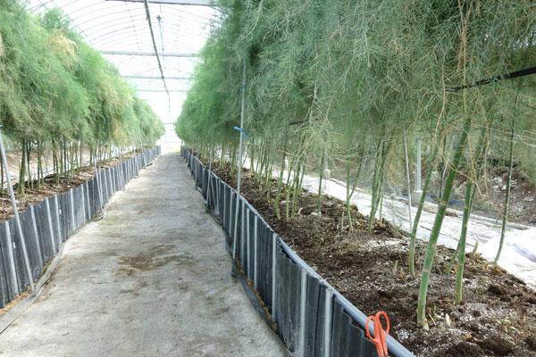 夏芽の時期のアスパラガス畑