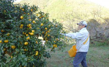 種なし柚子「多田錦」が最盛期を迎えています