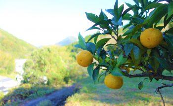 種無し柚子「多田錦」11月1日から出荷開始です