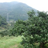 種なし柚子「多田錦」予約販売を開始しました
